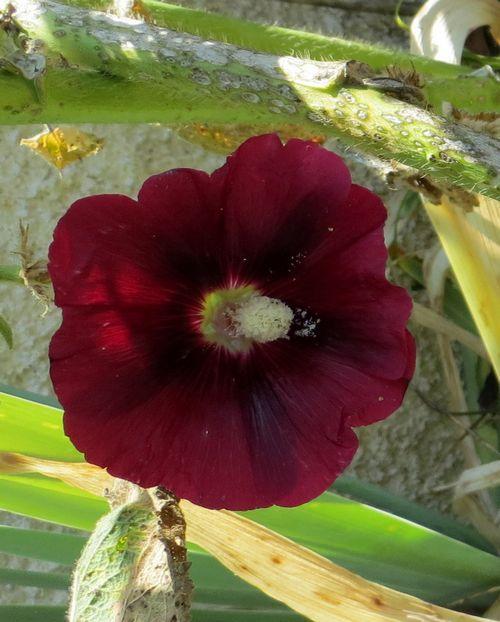 Les roses trémières (Alcea rosea) Img_0539