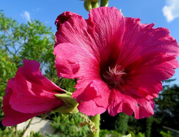 Les roses trémières (Alcea rosea) Img_0540