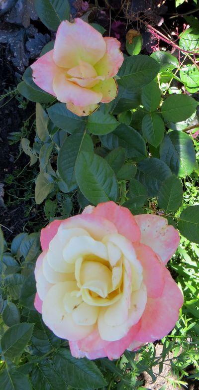 rosa peace Img_0611