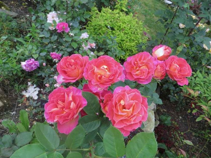 """rosa floribunda """"passionata"""" La_pas11"""