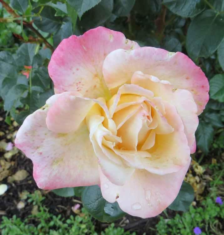rosae Laéticia Casta - Page 3 Laetic10