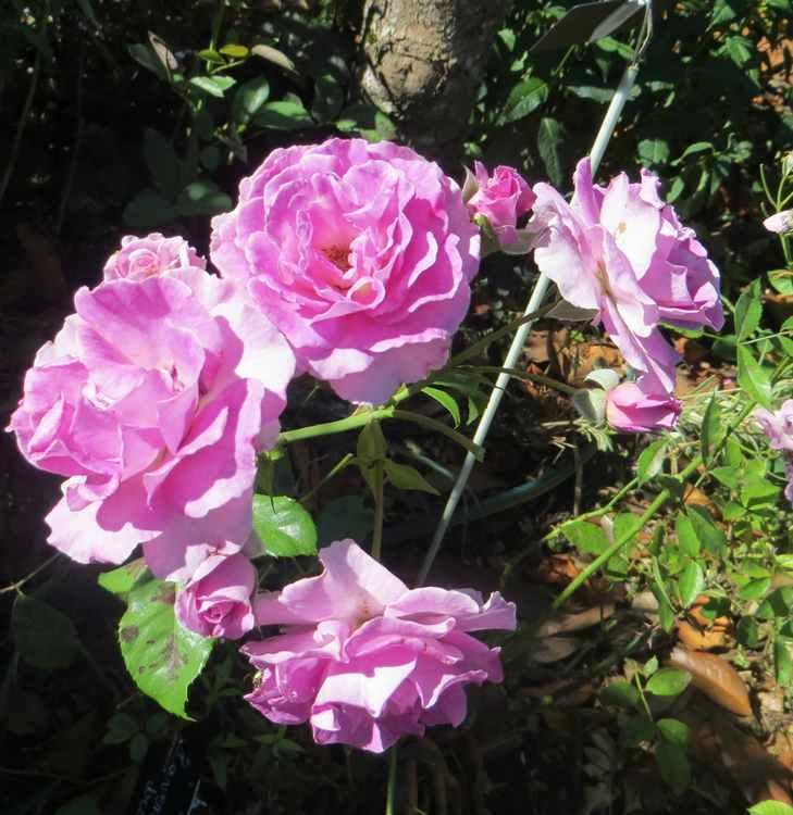 rosier lavande parfumée Lavand11