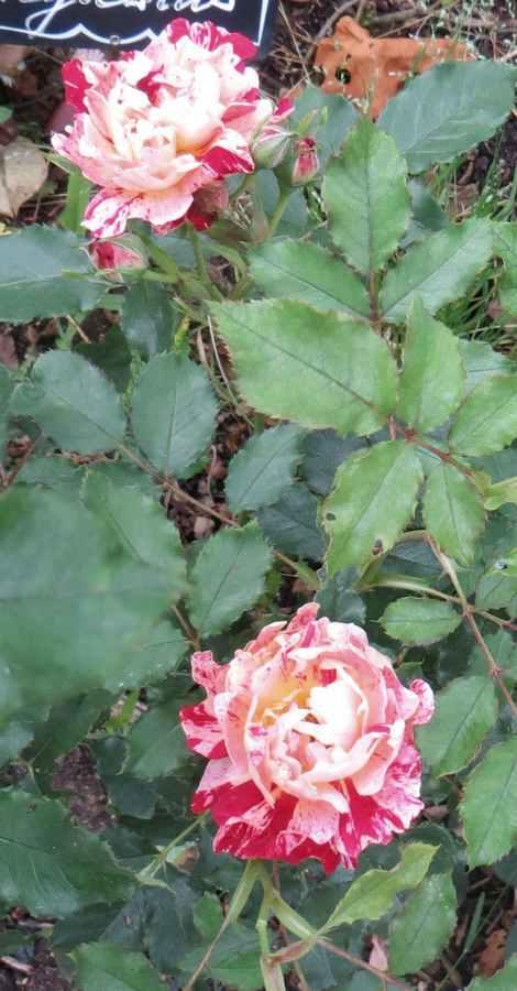 rosier Nimet Nimet10