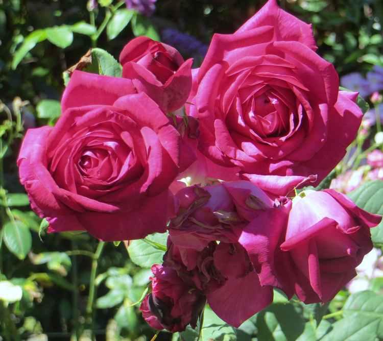 Rosa Parfum de Honfleur  - Page 3 Parfum12