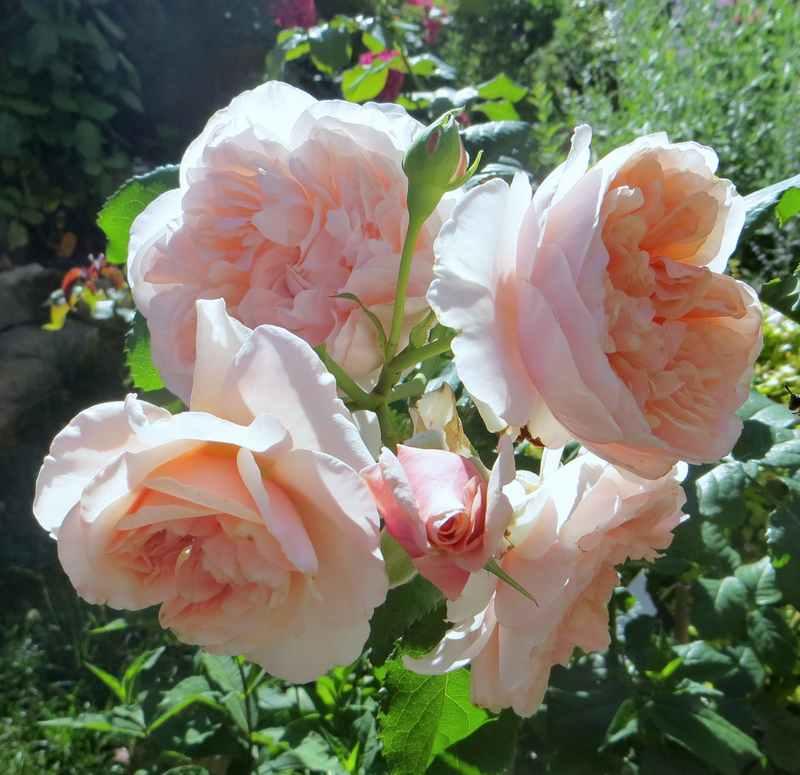 rose de Tolbiac Rose_d16
