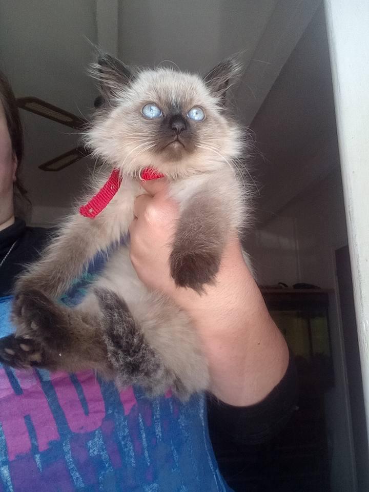 COQUINE, chaton femelle, 2 mois Coquin12