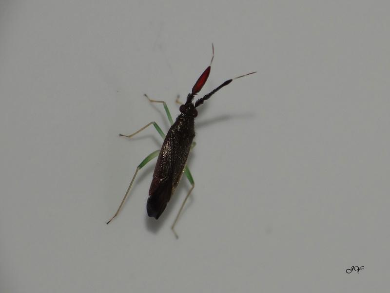 [Heterotoma planicornis ] Heterotoma planicornis  Hetero11