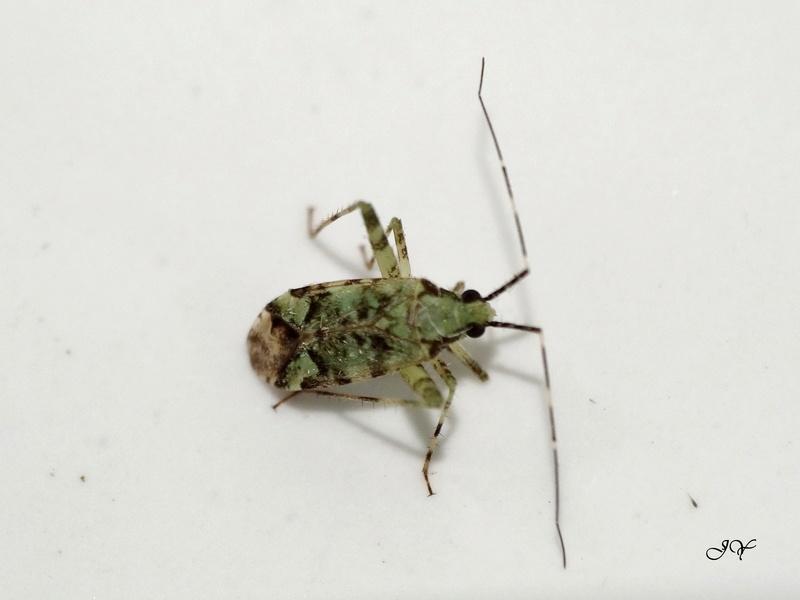 [Phytocoris tiliae] Miridae Phytoc10