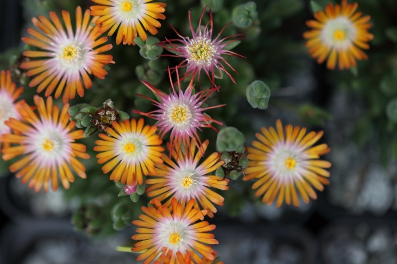 Delosperma 'Jewel of Desert Topaz' _mg_1011