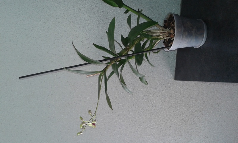Les Dendrobium hybrides de Flo! 20160719