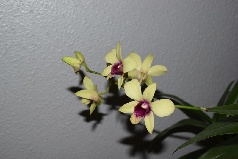 Les Dendrobium hybrides de Flo! Dsc_0111