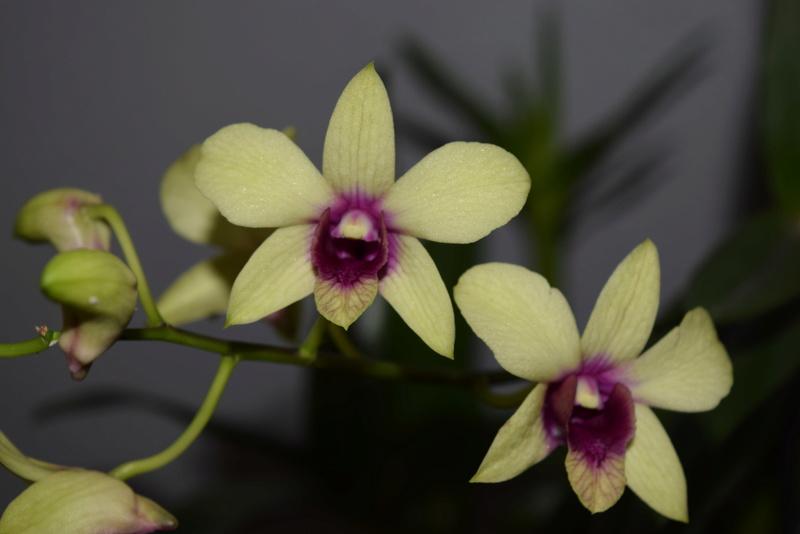 Les Dendrobium hybrides de Flo! Dsc_0112