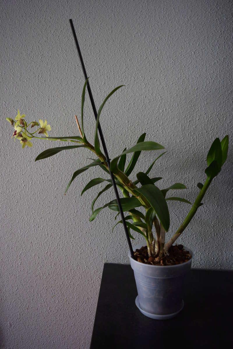 Les Dendrobium hybrides de Flo! Dsc_0113