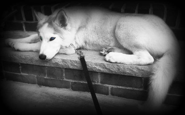 Classic Photos Of Your Huskies 56416610