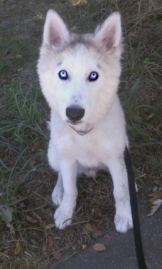 Classic Photos Of Your Huskies Thunda11