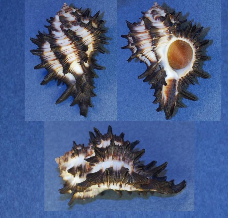 Homalocantha melanamathos - (Gmelin, 1791) Homolo11