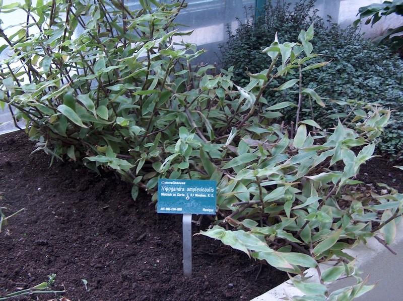 [ Tripogandra amplexicaulis ] Hpim2710