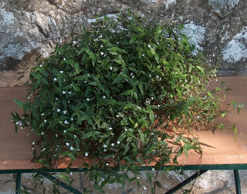 [Gibasis pellucida ] Qui est cette petite  Commelinaceae (9)  Hpim4510