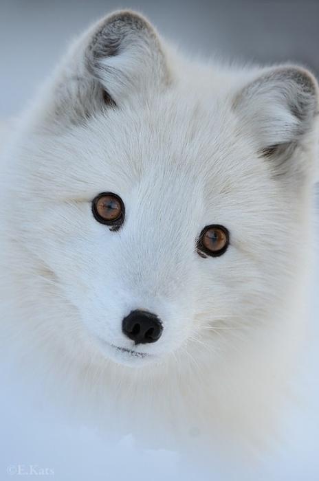 El animal mas hermoso: Zorro Polar Zorro-11