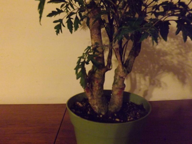 Aralia Ming my first tree Aralia12