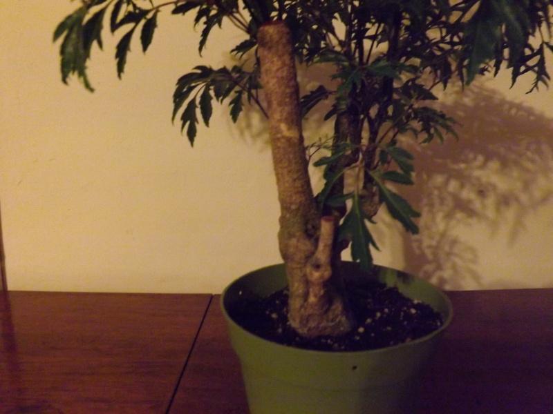 Aralia Ming my first tree Aralia13