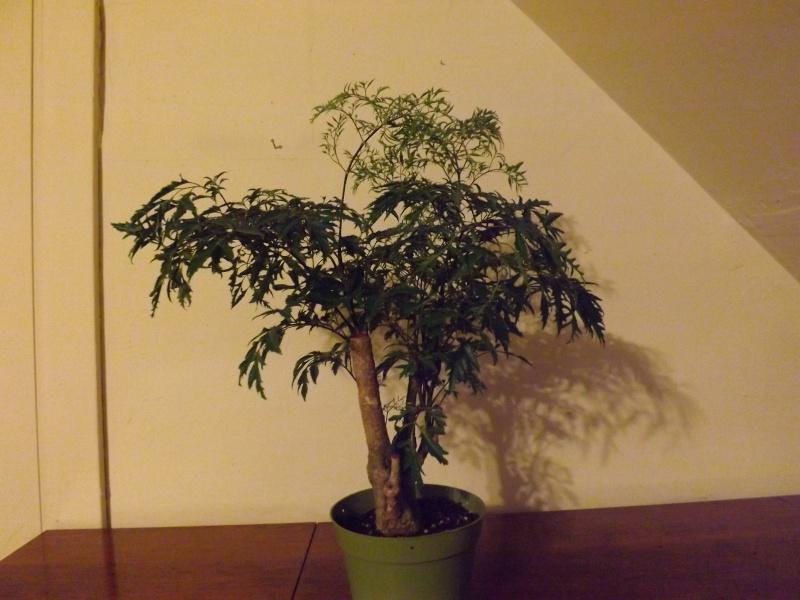 Aralia Ming my first tree Aralia14