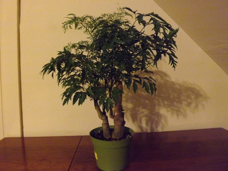 Aralia Ming my first tree Aralia15