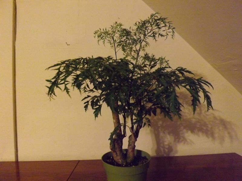 Aralia Ming my first tree Aralia16