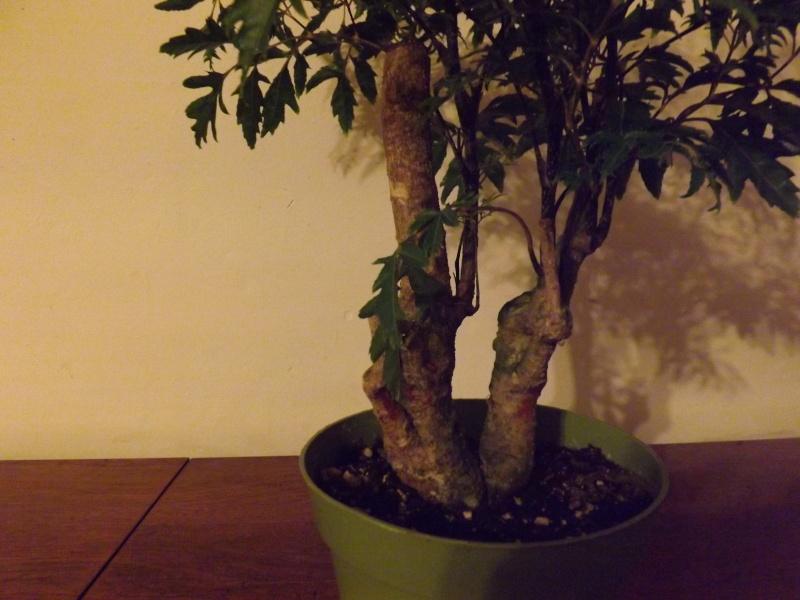 Aralia Ming my first tree Aralia17