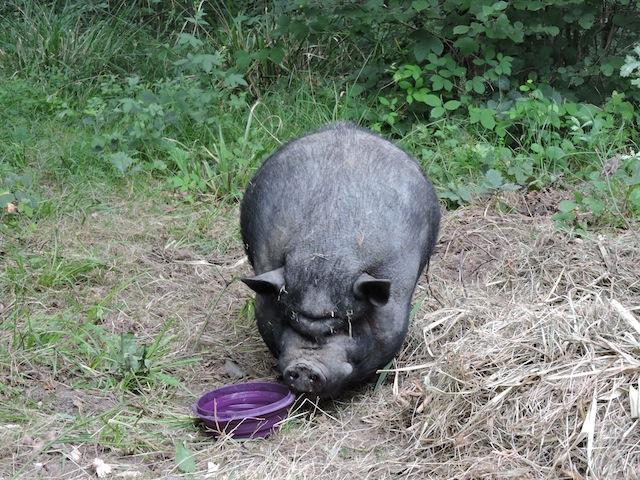 Rosie, cochonne vietnamienne Dscn3650
