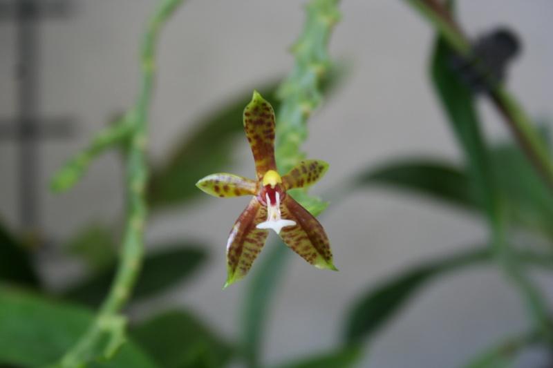 phalaenopsis cornu cervi  - Page 3 Img_3018