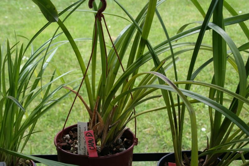 cymbidium atropurpureum x aloifolium 'simulans' Img_3024