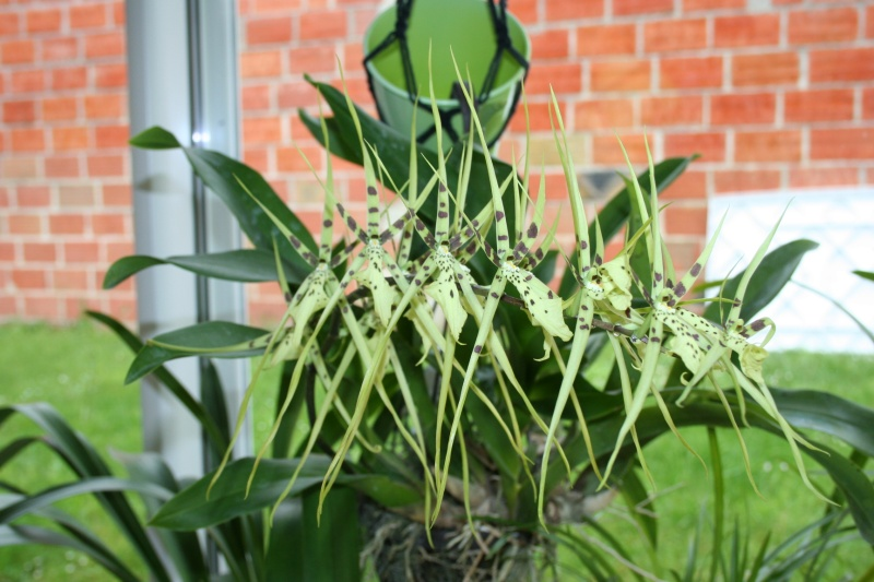 odontoglossum maclellanara Img_3120