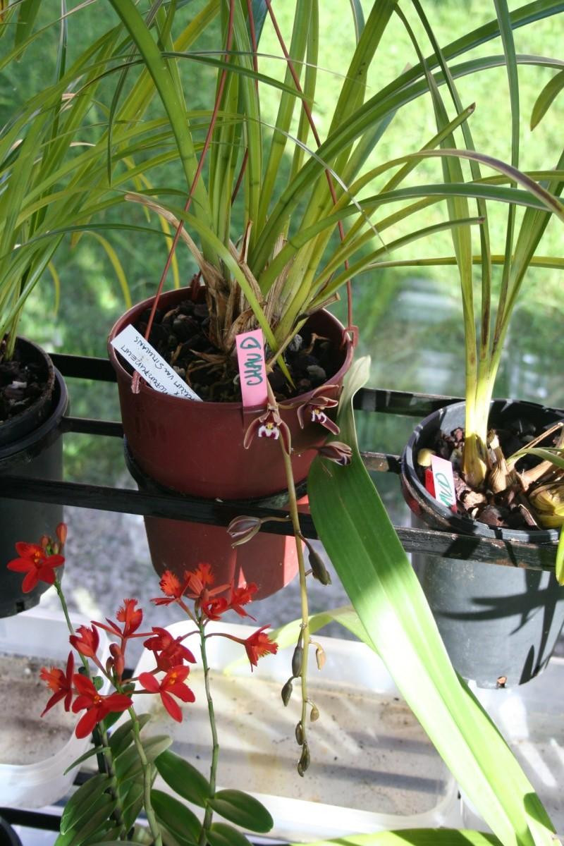 cymbidium atropurpureum x aloifolium 'simulans' Img_3130