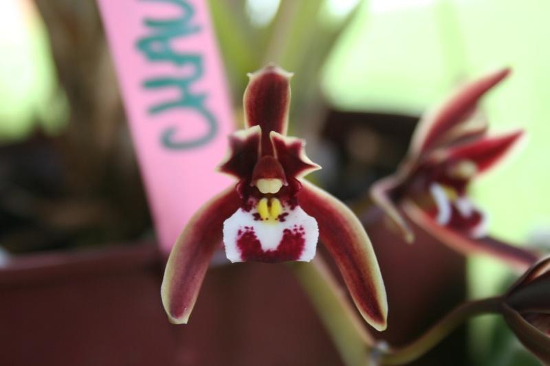 cymbidium atropurpureum x aloifolium 'simulans' Img_3131