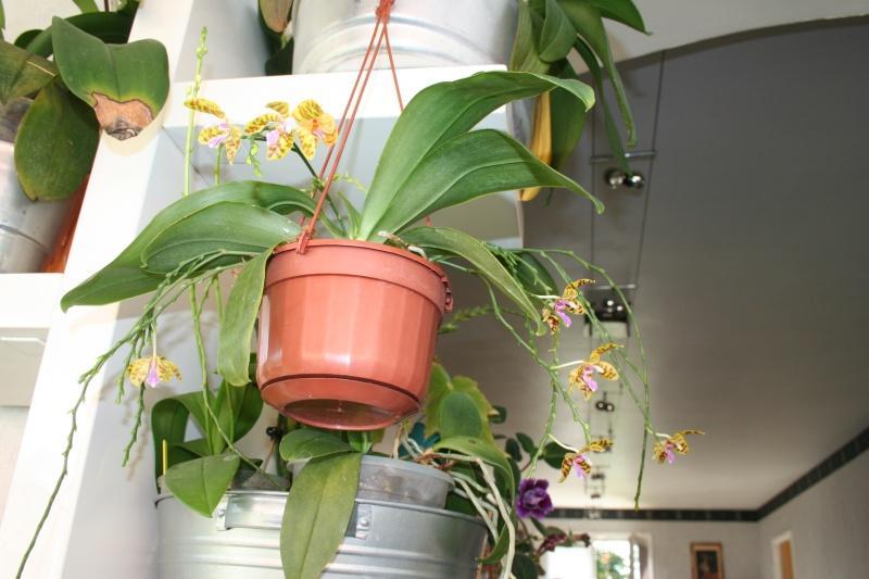 phalaenopsis fasciata x mariae Img_3134