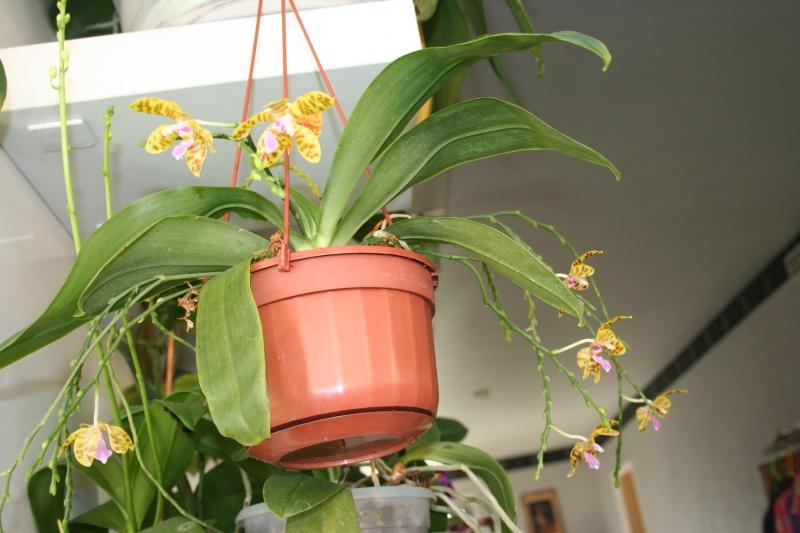 phalaenopsis fasciata x mariae Img_3135