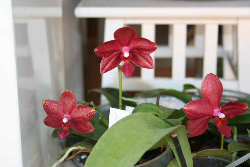 phalaenopsis miva midi libre - Page 2 Img_3137