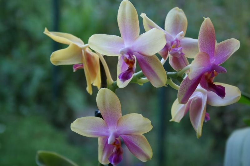 phalaenopsis liodora Img_3138