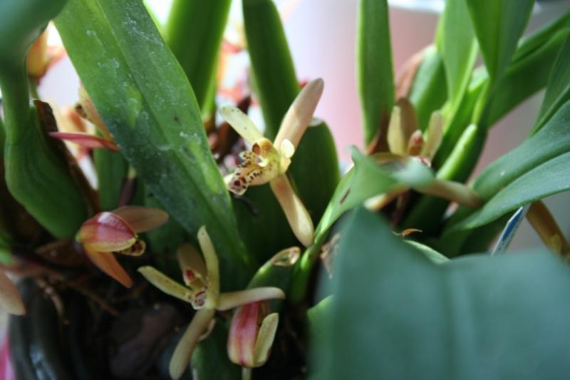 maxillaria rufescens - Page 2 Img_3213