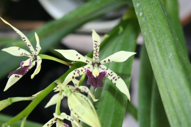 encyclia prismatocarpa x cochleata Img_3217