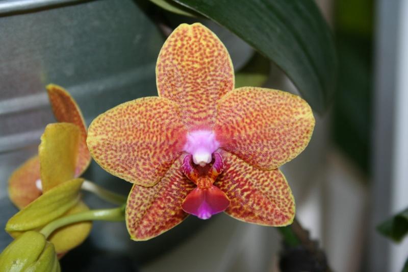 phalaenopsis cuivre bouddha - Page 2 Img_3221