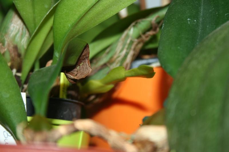 bulbophyllum Echinolabium x carunculatum 'l'Amazone' - Page 2 Img_3222
