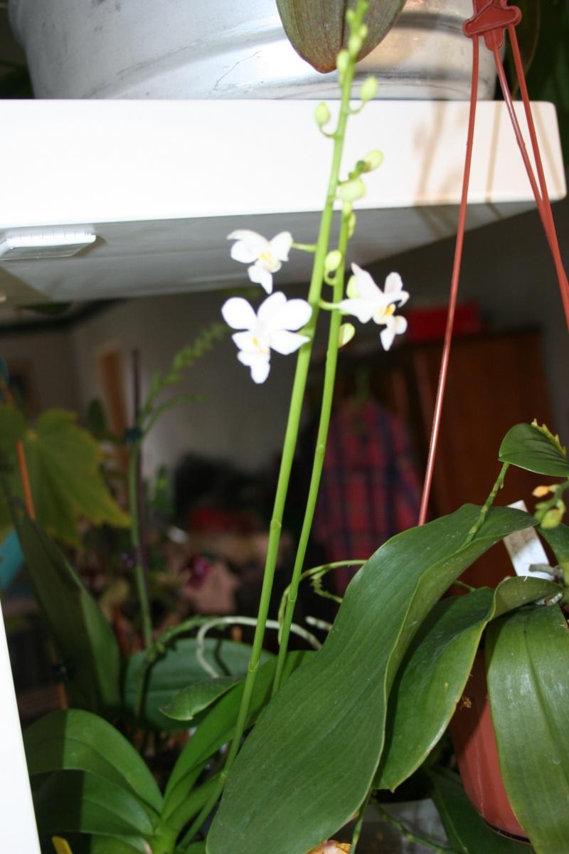 doritaenopsis blanc Img_3224