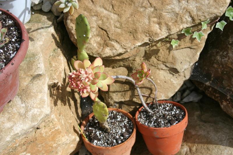 succulentes rempotées !!  Img_3235