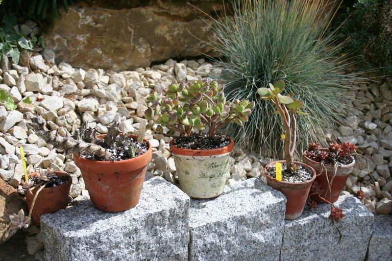 succulentes rempotées !!  Img_3236
