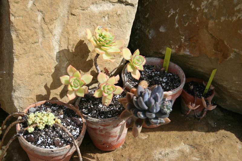 succulentes rempotées !!  Img_3237