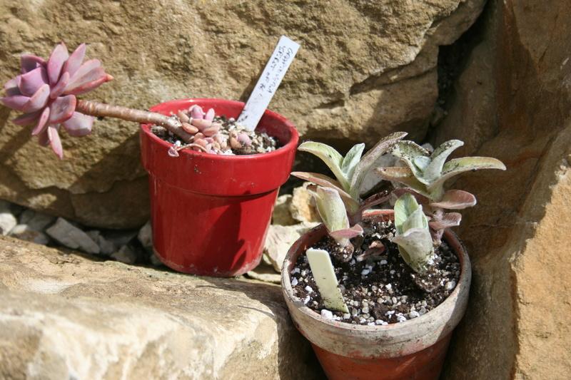 succulentes rempotées !!  Img_3238