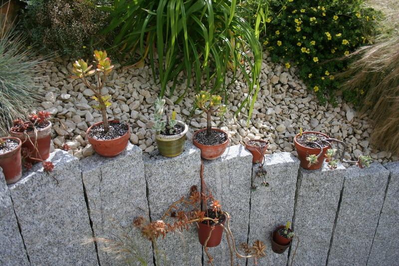 succulentes rempotées !!  Img_3239