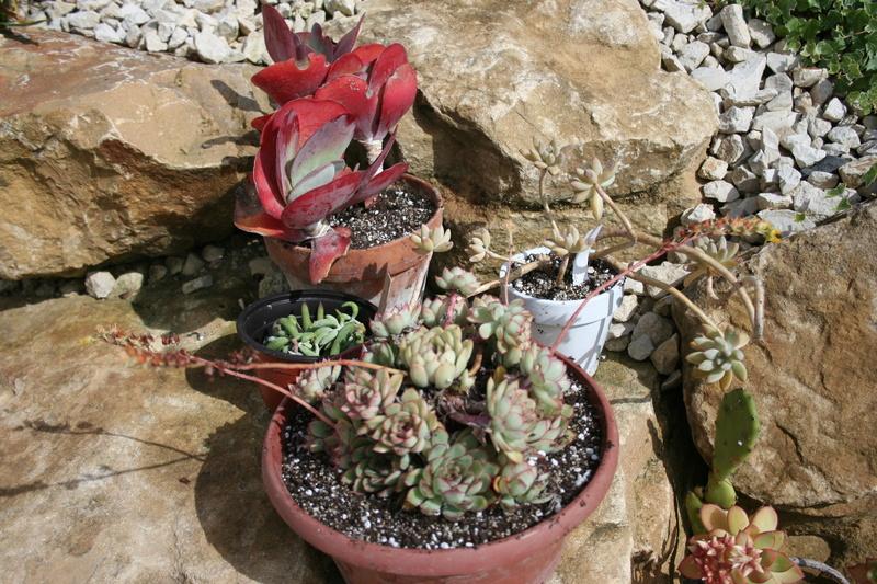 succulentes rempotées !!  Img_3240